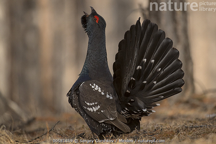 Black-billed Capercaillie (Tetrao parvirostris) male displaying, Mongolia  ,  Adult, Black-billed Capercaillie, Color Image, Day, Displaying, Full Length, Gamebird, Horizontal, Male, Mongolia, Nobody, One Animal, Outdoors, Photography, Side View, Tetrao parvirostris, Wildlife,Black-billed Capercaillie,Mongolia  ,  Sergey Gorshkov