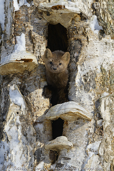 Sable (Martes zibellina) in tree cavity in winter, Lake Baikal, Barguzinsky Nature Reserve, Russia  ,  Adult, Barguzinsky Nature Reserve, Color Image, Day, Front View, Full Length, Lake Baikal, Looking at Camera, Martes zibellina, Nobody, One Animal, Outdoors, Photography, Russia, Sable, Snow, Vertical, Wildlife, Winter,Sable,Russia  ,  Sergey Gorshkov