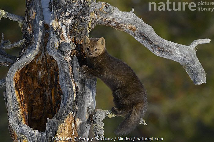Sable (Martes zibellina) in tree, Lake Baikal, Barguzinsky Nature Reserve, Russia  ,  Adult, Barguzinsky Nature Reserve, Color Image, Day, Full Length, Horizontal, Lake Baikal, Looking at Camera, Martes zibellina, Nobody, One Animal, Outdoors, Photography, Russia, Sable, Side View, Wildlife,Sable,Russia  ,  Sergey Gorshkov