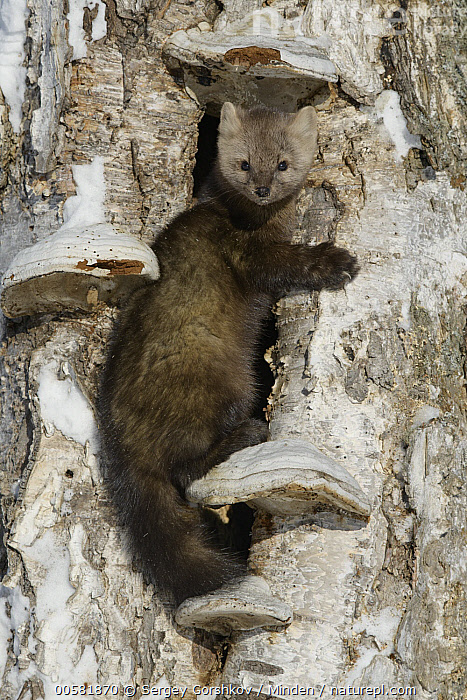 Sable (Martes zibellina) in tree in winter, Lake Baikal, Barguzinsky Nature Reserve, Russia, Adult, Barguzinsky Nature Reserve, Color Image, Day, Full Length, Lake Baikal, Looking at Camera, Martes zibellina, Nobody, One Animal, Outdoors, Photography, Russia, Sable, Side View, Vertical, Wildlife, Winter,Sable,Russia, Sergey Gorshkov