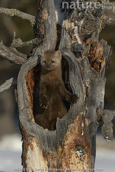 Sable (Martes zibellina) in tree, Lake Baikal, Barguzinsky Nature Reserve, Russia  ,  Adult, Barguzinsky Nature Reserve, Color Image, Day, Front View, Full Length, Lake Baikal, Martes zibellina, Nobody, One Animal, Outdoors, Photography, Russia, Sable, Vertical, Wildlife,Sable,Russia  ,  Sergey Gorshkov