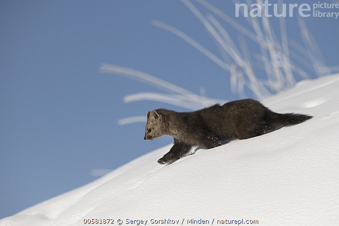 Sable (Martes zibellina) in snow, Lake Baikal, Barguzinsky Nature Reserve, Russia, Adult, Barguzinsky Nature Reserve, Color Image, Day, Full Length, Horizontal, Lake Baikal, Martes zibellina, Nobody, One Animal, Outdoors, Photography, Russia, Sable, Side View, Snow, Wildlife, Winter,Sable,Russia, Sergey Gorshkov