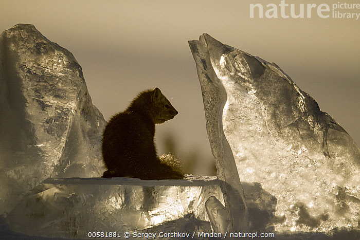 Sable (Martes zibellina) on ice chunk, Lake Baikal, Barguzinsky Nature Reserve, Russia  ,  Adult, Barguzinsky Nature Reserve, Color Image, Day, Full Length, Horizontal, Ice, Lake Baikal, Martes zibellina, Nobody, One Animal, Outdoors, Photography, Russia, Sable, Side View, Silhouette, Wildlife, Winter,Sable,Russia  ,  Sergey Gorshkov