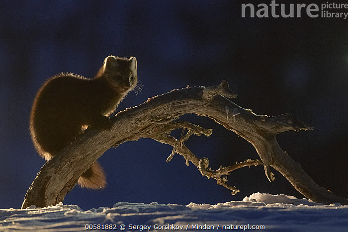 Sable (Martes zibellina) on branch in winter, Lake Baikal, Barguzinsky Nature Reserve, Russia  ,  Adult, Backlighting, Barguzinsky Nature Reserve, Color Image, Day, Full Length, Horizontal, Lake Baikal, Martes zibellina, Nobody, One Animal, Outdoors, Photography, Russia, Sable, Side View, Snow, Wildlife, Winter,Sable,Russia  ,  Sergey Gorshkov