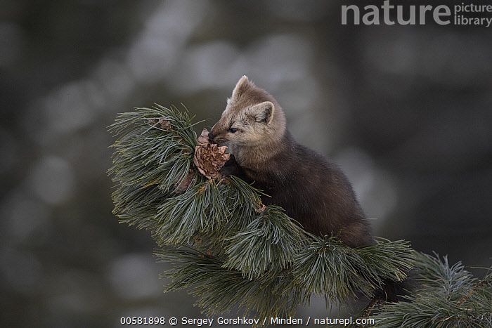 Sable (Martes zibellina) smelling cone in tree, Lake Baikal, Barguzinsky Nature Reserve, Russia, Adult, Barguzinsky Nature Reserve, Color Image, Cone, Day, Full Length, Horizontal, Lake Baikal, Martes zibellina, Nobody, One Animal, Outdoors, Photography, Russia, Sable, Side View, Smelling, Wildlife,Sable,Russia, Sergey Gorshkov