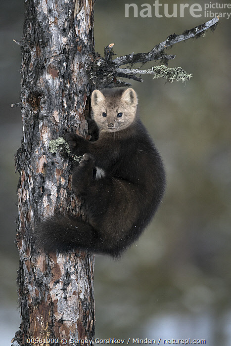 Sable (Martes zibellina) in tree, Lake Baikal, Barguzinsky Nature Reserve, Russia  ,  Adult, Barguzinsky Nature Reserve, Color Image, Day, Full Length, Lake Baikal, Looking at Camera, Martes zibellina, Nobody, One Animal, Outdoors, Photography, Russia, Sable, Side View, Vertical, Wildlife,Sable,Russia  ,  Sergey Gorshkov