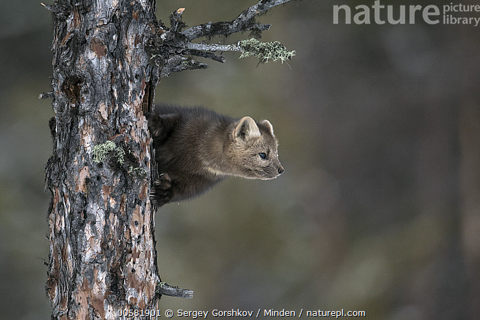 Sable (Martes zibellina) in tree, Lake Baikal, Barguzinsky Nature Reserve, Russia, Adult, Barguzinsky Nature Reserve, Color Image, Day, Full Length, Horizontal, Lake Baikal, Martes zibellina, Nobody, One Animal, Outdoors, Photography, Russia, Sable, Side View, Wildlife,Sable,Russia, Sergey Gorshkov