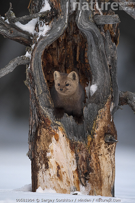 Sable (Martes zibellina) in tree in winter, Lake Baikal, Barguzinsky Nature Reserve, Russia  ,  Adult, Barguzinsky Nature Reserve, Color Image, Day, Front View, Full Length, Lake Baikal, Martes zibellina, Nobody, One Animal, Outdoors, Photography, Russia, Sable, Snow, Vertical, Wildlife, Winter,Sable,Russia  ,  Sergey Gorshkov
