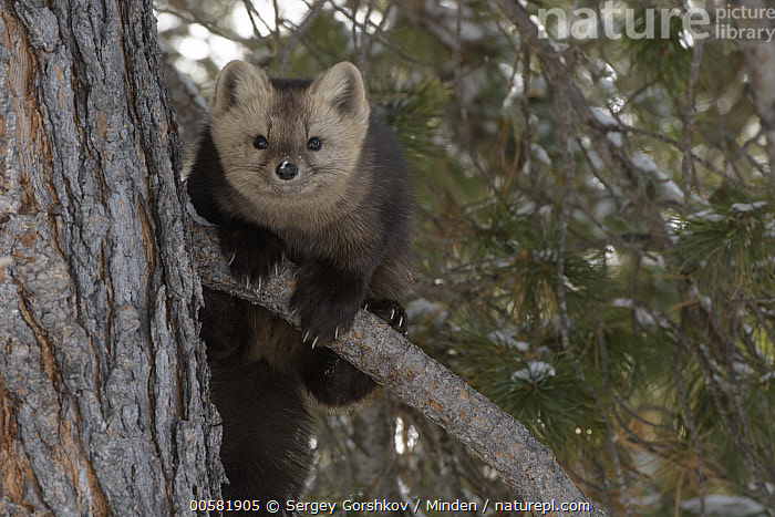 Sable (Martes zibellina) in tree, Lake Baikal, Barguzinsky Nature Reserve, Russia, Adult, Barguzinsky Nature Reserve, Color Image, Day, Front View, Full Length, Horizontal, Lake Baikal, Looking at Camera, Martes zibellina, Nobody, One Animal, Outdoors, Photography, Russia, Sable, Wildlife,Sable,Russia, Sergey Gorshkov