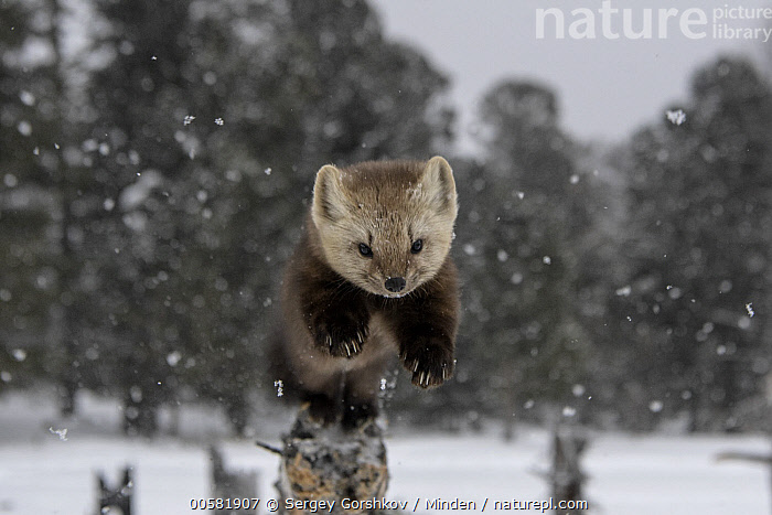 Sable (Martes zibellina) jumping from tree in snowfall, Lake Baikal, Barguzinsky Nature Reserve, Russia  ,  Adult, Approaching, Barguzinsky Nature Reserve, Color Image, Day, Front View, Full Length, Horizontal, Jumping, Lake Baikal, Martes zibellina, Nobody, One Animal, Outdoors, Photography, Russia, Sable, Snow, Snowing, Wildlife, Winter,Sable,Russia  ,  Sergey Gorshkov