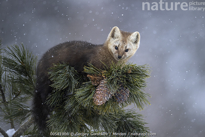 Sable (Martes zibellina) in tree in snowfall, Lake Baikal, Barguzinsky Nature Reserve, Russia, Adult, Barguzinsky Nature Reserve, Color Image, Day, Full Length, Horizontal, Lake Baikal, Looking at Camera, Martes zibellina, Nobody, One Animal, Outdoors, Photography, Russia, Sable, Side View, Snowfall, Wildlife,Sable,Russia, Sergey Gorshkov