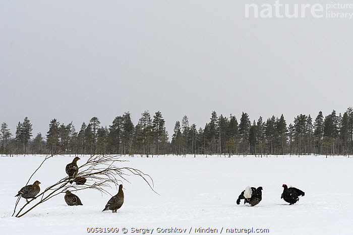 Black Grouse (Tetrao tetrix) males fighting over females in snow, Tver, Russia, Adult, Black Grouse, Color Image, Competition, Day, Dimorphic, Displaying, Female, Fighting, Full Length, Gamebird, Horizontal, Male, Medium Group of Animals, Nobody, Outdoors, Photography, Russia, Sexual Dimorphism, Side View, Snow, Tetrao tetrix, Tver, Wildlife, Winter,Black Grouse,Russia, Sergey Gorshkov