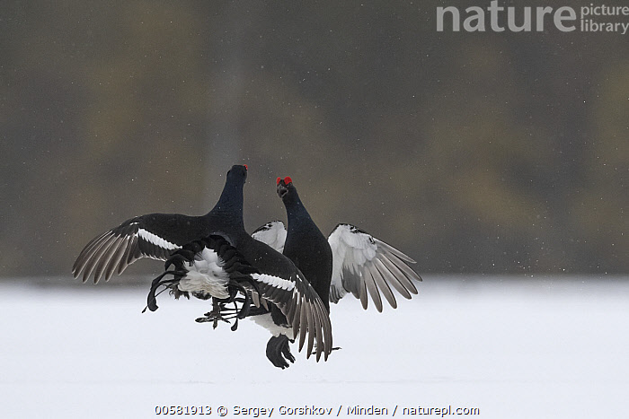 Black Grouse (Tetrao tetrix) males fighting in winter, Tver, Russia  ,  Adult, Black Grouse, Color Image, Competition, Day, Fighting, Front View, Full Length, Gamebird, Horizontal, Jumping, Male, Nobody, Outdoors, Photography, Rear View, Russia, Snow, Tetrao tetrix, Tver, Two Animals, Wildlife, Winter,Black Grouse,Russia  ,  Sergey Gorshkov