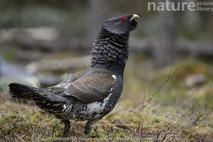 Western Capercaillie (Tetrao urogallus) male displaying, Tver, Russia  ,  Adult, Color Image, Day, Displaying, Full Length, Gamebird, Horizontal, Male, Nobody, One Animal, Outdoors, Photography, Russia, Side View, Tetrao urogallus, Tver, Western Capercaillie, Wildlife,Western Capercaillie,Russia  ,  Sergey Gorshkov