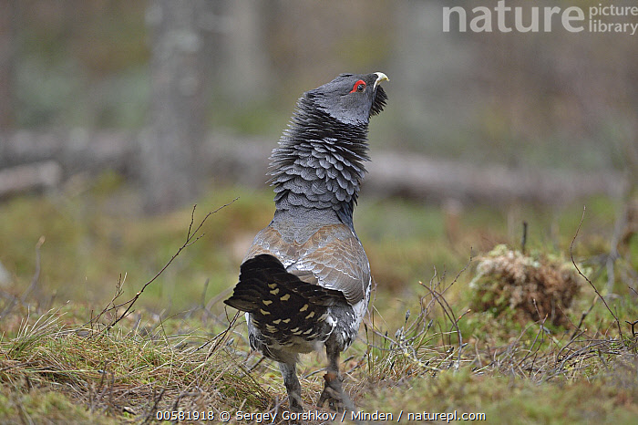Western Capercaillie (Tetrao urogallus) male displaying, Tver, Russia  ,  Adult, Color Image, Day, Displaying, Full Length, Gamebird, Horizontal, Male, Nobody, One Animal, Outdoors, Photography, Rear View, Russia, Tetrao urogallus, Tver, Western Capercaillie, Wildlife,Western Capercaillie,Russia  ,  Sergey Gorshkov