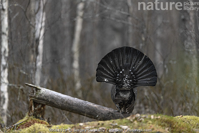 Western Capercaillie (Tetrao urogallus) male displaying in forest, Tver, Russia  ,  Adult, Animal in Habitat, Color Image, Day, Displaying, Forest, Full Length, Gamebird, Horizontal, Male, Nobody, One Animal, Outdoors, Photography, Rear View, Russia, Tetrao urogallus, Tver, Western Capercaillie, Wildlife,Western Capercaillie,Russia  ,  Sergey Gorshkov