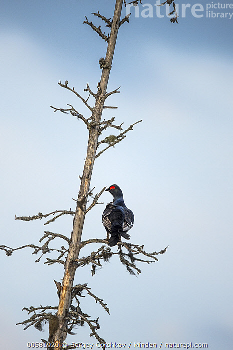 Western Capercaillie (Tetrao urogallus) male in tree, Tver, Russia  ,  Adult, Color Image, Day, Full Length, Gamebird, Male, Nobody, One Animal, Outdoors, Photography, Rear View, Russia, Tetrao urogallus, Tver, Vertical, Western Capercaillie, Wildlife,Western Capercaillie,Russia  ,  Sergey Gorshkov