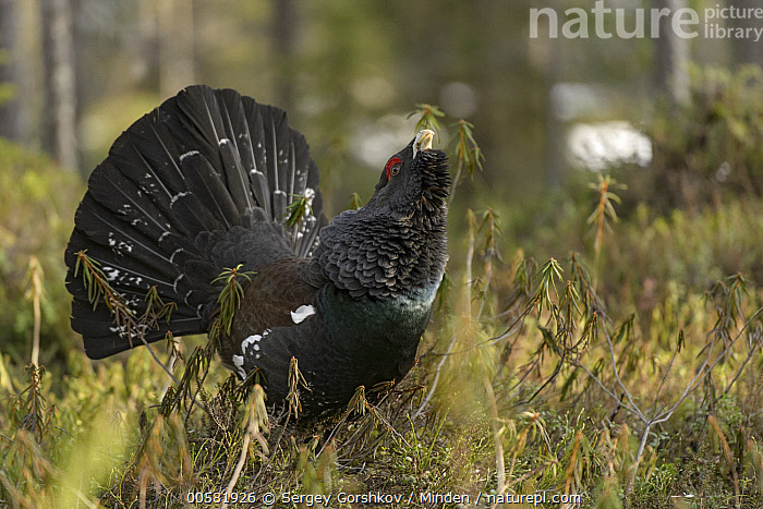 Western Capercaillie (Tetrao urogallus) male displaying, Tver, Russia, Adult, Color Image, Day, Displaying, Full Length, Gamebird, Horizontal, Male, Nobody, One Animal, Outdoors, Photography, Russia, Side View, Tetrao urogallus, Tver, Western Capercaillie, Wildlife,Western Capercaillie,Russia, Sergey Gorshkov