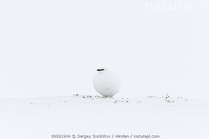 Rock Ptarmigan (Lagopus muta) in winter, Taymyr Peninsula, Siberia, Russia, Adult, Camouflage, Color Image, Day, Front View, Full Length, Gamebird, Horizontal, Lagopus muta, Nobody, One Animal, Outdoors, Photography, Rock Ptarmigan, Russia, Siberia, Snow, Taymyr Peninsula, White, Wildlife, Winter,Rock Ptarmigan,Russia, Sergey Gorshkov