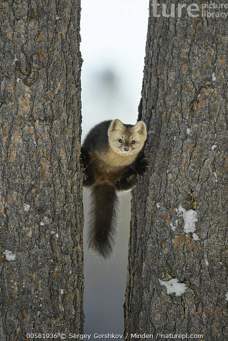 Sable (Martes zibellina) in trees, Lake Baikal, Barguzinsky Nature Reserve, Russia, Adult, Barguzinsky Nature Reserve, Color Image, Day, Front View, Full Length, Lake Baikal, Looking at Camera, Martes zibellina, Nobody, One Animal, Outdoors, Photography, Russia, Sable, Vertical, Wildlife,Sable,Russia, Sergey Gorshkov