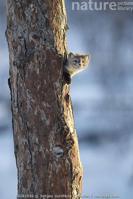 Sable (Martes zibellina) in tree cavity, Lake Baikal, Barguzinsky Nature Reserve, Russia  ,  Adult, Barguzinsky Nature Reserve, Cavity, Color Image, Day, Head and Shoulders, Lake Baikal, Looking at Camera, Martes zibellina, Nobody, One Animal, Outdoors, Photography, Portrait, Profile, Russia, Sable, Side View, Vertical, Wildlife, Winter,Sable,Russia  ,  Sergey Gorshkov