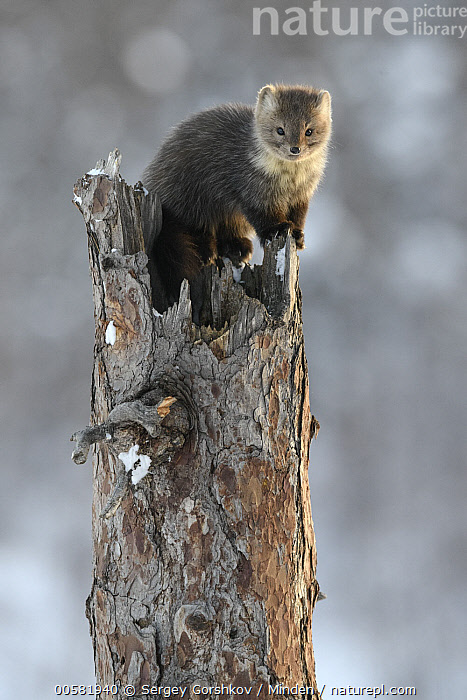 Sable (Martes zibellina) in tree in winter, Lake Baikal, Barguzinsky Nature Reserve, Russia, Adult, Barguzinsky Nature Reserve, Color Image, Day, Full Length, Lake Baikal, Martes zibellina, Nobody, One Animal, Outdoors, Photography, Russia, Sable, Side View, Vertical, Wildlife, Winter,Sable,Russia, Sergey Gorshkov