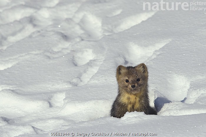 Sable (Martes zibellina) in snow, Lake Baikal, Barguzinsky Nature Reserve, Russia, Adult, Barguzinsky Nature Reserve, Color Image, Cute, Day, Front View, Head and Shoulders, Horizontal, Lake Baikal, Looking at Camera, Martes zibellina, Nobody, One Animal, Outdoors, Photography, Portrait, Russia, Sable, Snow, Wildlife, Winter,Sable,Russia, Sergey Gorshkov
