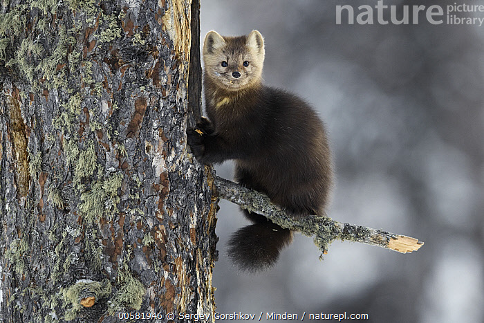 Sable (Martes zibellina) in tree in winter, Lake Baikal, Barguzinsky Nature Reserve, Russia, Adult, Barguzinsky Nature Reserve, Color Image, Cute, Day, Full Length, Horizontal, Lake Baikal, Looking at Camera, Martes zibellina, Nobody, One Animal, Outdoors, Photography, Russia, Sable, Side View, Wildlife,Sable,Russia, Sergey Gorshkov