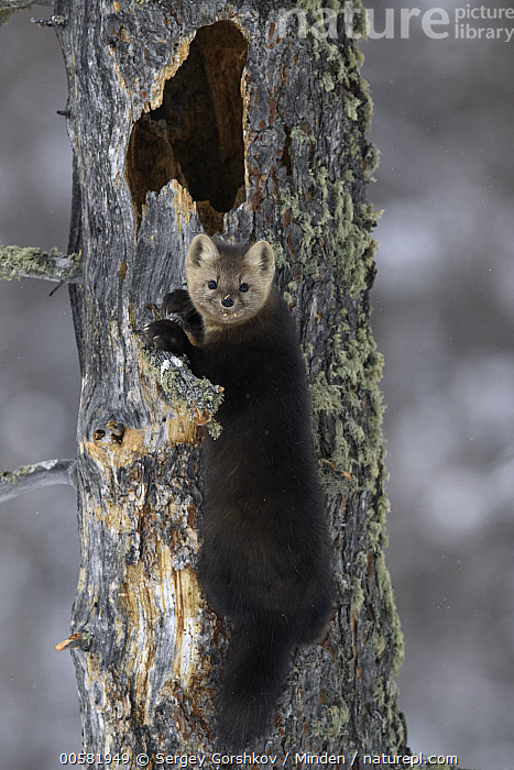 Sable (Martes zibellina) in tree, Lake Baikal, Barguzinsky Nature Reserve, Russia, Adult, Barguzinsky Nature Reserve, Color Image, Day, Full Length, Lake Baikal, Looking at Camera, Martes zibellina, Nobody, One Animal, Outdoors, Photography, Russia, Sable, Side View, Vertical, Wildlife,Sable,Russia, Sergey Gorshkov