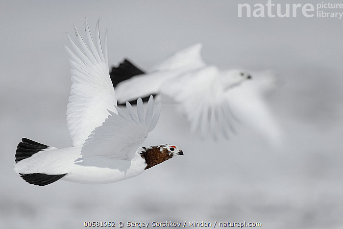 Willow Ptarmigan (Lagopus lagopus) male and females flying, Taymyr Peninsula, Siberia, Russia, Adult, Color Image, Day, Dimorphic, Female, Flying, Full Length, Gamebird, Horizontal, Lagopus lagopus, Male, Nobody, Outdoors, Photography, Russia, Sexual Dimorphism, Siberia, Side View, Taymyr Peninsula, Three Animals, Wildlife, Willow Ptarmigan,Willow Ptarmigan,Russia, Sergey Gorshkov