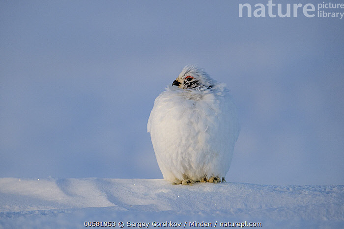 Willow Ptarmigan (Lagopus lagopus) sub-adult male in winter, Taymyr Peninsula, Siberia, Russia, Color Image, Day, Front View, Full Length, Gamebird, Horizontal, Lagopus lagopus, Male, Nobody, One Animal, Outdoors, Photography, Russia, Siberia, Snow, Sub-Adult, Taymyr Peninsula, Wildlife, Willow Ptarmigan, Winter,Willow Ptarmigan,Russia, Sergey Gorshkov