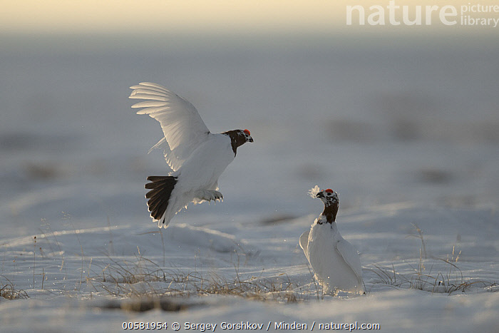 Willow Ptarmigan (Lagopus lagopus) males fighting at lek in winter, Taymyr Peninsula, Siberia, Russia, Adult, Color Image, Competition, Day, Fighting, Flying, Full Length, Gamebird, Horizontal, Lagopus lagopus, Lek, Male, Nobody, Outdoors, Photography, Russia, Siberia, Side View, Snow, Taymyr Peninsula, Two Animals, Wildlife, Willow Ptarmigan, Winter,Willow Ptarmigan,Russia, Sergey Gorshkov