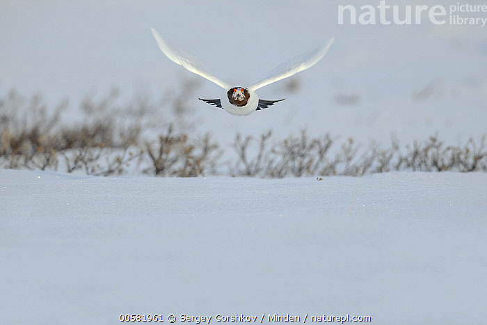 Willow Ptarmigan (Lagopus lagopus) male flying in winter, Taymyr Peninsula, Siberia, Russia  ,  Adult, Approaching, Color Image, Day, Flying, Front View, Full Length, Gamebird, Horizontal, Lagopus lagopus, Male, Nobody, One Animal, Outdoors, Photography, Russia, Siberia, Snow, Taymyr Peninsula, Wildlife, Willow Ptarmigan, Winter,Willow Ptarmigan,Russia  ,  Sergey Gorshkov