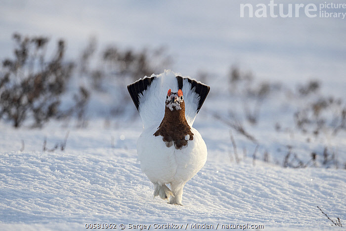 Willow Ptarmigan (Lagopus lagopus) male in winter, Taymyr Peninsula, Siberia, Russia  ,  Adult, Color Image, Day, Front View, Full Length, Gamebird, Horizontal, Lagopus lagopus, Looking at Camera, Male, Nobody, One Animal, Outdoors, Photography, Russia, Siberia, Snow, Taymyr Peninsula, Wildlife, Willow Ptarmigan, Winter,Willow Ptarmigan,Russia  ,  Sergey Gorshkov