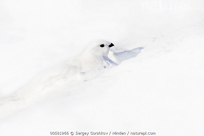 Willow Ptarmigan (Lagopus lagopus) female camouflaged in snow, Taymyr Peninsula, Siberia, Russia, Adult, Camouflage, Color Image, Day, Female, Full Length, Gamebird, Horizontal, Lagopus lagopus, Nobody, One Animal, Outdoors, Photography, Russia, Siberia, Side View, Snow, Taymyr Peninsula, White, Wildlife, Willow Ptarmigan, Winter,Willow Ptarmigan,Russia, Sergey Gorshkov