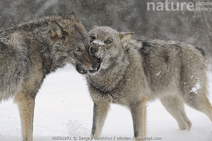Wolf (Canis lupus) pair greeting each other in winter, Tver, Russia  ,  Adult, Biting, Canis lupus, Color Image, Day, Greeting, Horizontal, Nobody, Outdoors, Photography, Russia, Side View, Snow, Snowfall, Three Quarter Length, Tver, Two Animals, Waist Up, Wildlife, Winter, Wolf,Wolf,Russia  ,  Sergey Gorshkov