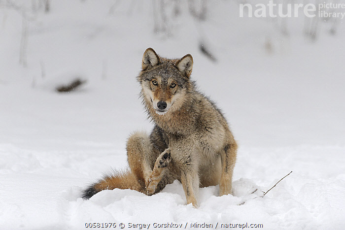 Wolf (Canis lupus) scratching itself in winter, Tver, Russia  ,  Adult, Canis lupus, Color Image, Day, Front View, Full Length, Horizontal, Looking at Camera, Nobody, One Animal, Outdoors, Photography, Russia, Scratching, Snow, Tver, Wildlife, Winter, Wolf,Wolf,Russia  ,  Sergey Gorshkov