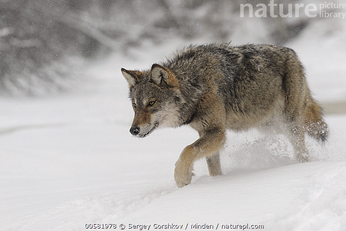 Wolf (Canis lupus) in snow, Tver, Russia, Adult, Canis lupus, Color Image, Day, Full Length, Horizontal, Nobody, One Animal, Outdoors, Photography, Russia, Side View, Snow, Stalking, Tver, Walking, Wildlife, Winter, Wolf,Wolf,Russia, Sergey Gorshkov
