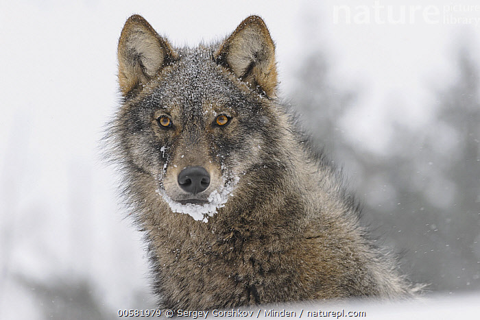 Wolf (Canis lupus) in winter, Tver, Russia, Adult, Canis lupus, Color Image, Day, Front View, Head and Shoulders, Horizontal, Looking at Camera, Nobody, One Animal, Outdoors, Photography, Portrait, Russia, Snow, Tver, Wildlife, Winter, Wolf,Wolf,Russia, Sergey Gorshkov