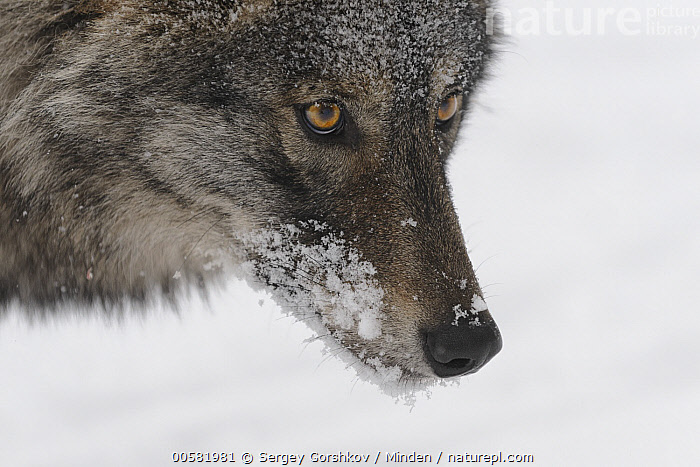Wolf (Canis lupus) in snow, Tver, Russia, Adult, Canis lupus, Close Up, Color Image, Day, Head, Horizontal, Nobody, One Animal, Outdoors, Photography, Portrait, Profile, Russia, Side View, Snow, Tver, Wildlife, Winter, Wolf,Wolf,Russia, Sergey Gorshkov