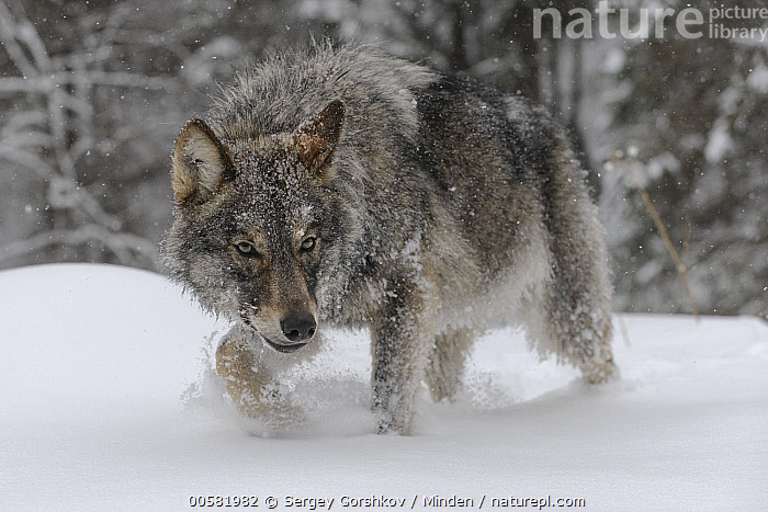 Wolf (Canis lupus) in snow, Tver, Russia  ,  Adult, Canis lupus, Color Image, Day, Full Length, Horizontal, Nobody, One Animal, Outdoors, Photography, Russia, Side View, Snow, Tver, Wildlife, Winter, Wolf,Wolf,Russia  ,  Sergey Gorshkov