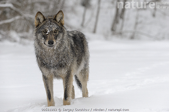 Wolf (Canis lupus) in snow, Tver, Russia  ,  Adult, Canis lupus, Color Image, Day, Front View, Full Length, Horizontal, Looking at Camera, Nobody, One Animal, Outdoors, Photography, Russia, Snow, Tver, Wildlife, Winter, Wolf,Wolf,Russia  ,  Sergey Gorshkov