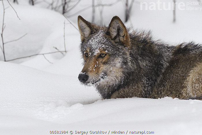 Wolf (Canis lupus) in snow, Tver, Russia, Adult, Canis lupus, Color Image, Day, Horizontal, Nobody, One Animal, Outdoors, Photography, Resting, Russia, Side View, Snow, Tver, Waist Up, Wildlife, Winter, Wolf,Wolf,Russia, Sergey Gorshkov