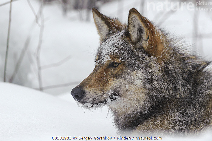 Wolf (Canis lupus) in snow, Tver, Russia, Adult, Canis lupus, Close Up, Color Image, Day, Head and Shoulders, Horizontal, Nobody, One Animal, Outdoors, Photography, Portrait, Profile, Russia, Side View, Snow, Tver, Wildlife, Winter, Wolf,Wolf,Russia, Sergey Gorshkov