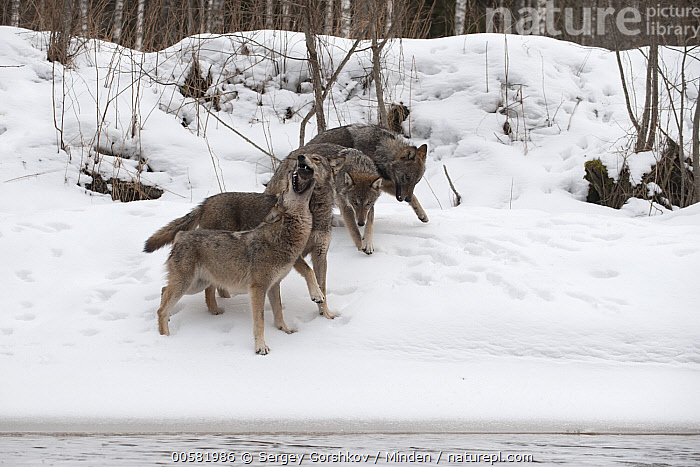 Wolf (Canis lupus) pack in snow, Tver, Russia, Adult, Canis lupus, Color Image, Day, Four Animals, Full Length, Greeting, Horizontal, Nobody, Open Mouth, Outdoors, Pack, Photography, Russia, Side View, Snow, Tver, Wildlife, Winter, Wolf,Wolf,Russia, Sergey Gorshkov