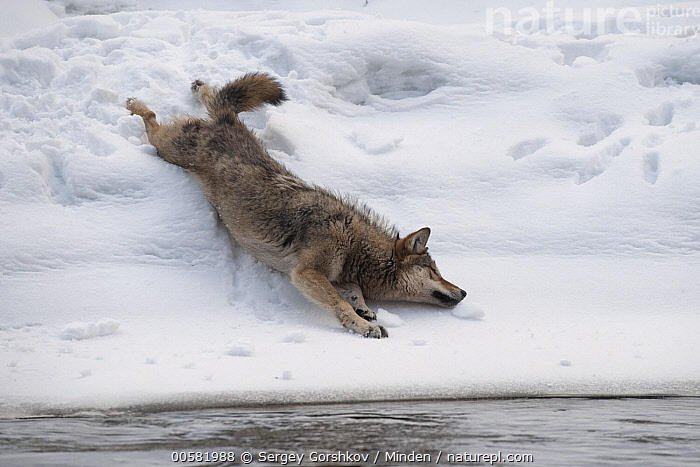 Wolf (Canis lupus) rolling in snow, Tver, Russia  ,  Adult, Canis lupus, Color Image, Day, Full Length, Horizontal, Nobody, One Animal, Outdoors, Photography, Rolling, Russia, Side View, Sliding, Snow, Tver, Wildlife, Winter, Wolf,Wolf,Russia  ,  Sergey Gorshkov
