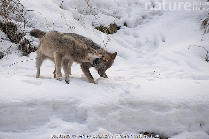 Wolf (Canis lupus) pair in dominance display in snow, Tver, Russia, Adult, Biting, Canis lupus, Color Image, Day, Displaying, Dominance, Full Length, Horizontal, Nobody, Outdoors, Photography, Russia, Side View, Snow, Submission, Tver, Two Animals, Wildlife, Winter, Wolf,Wolf,Russia, Sergey Gorshkov
