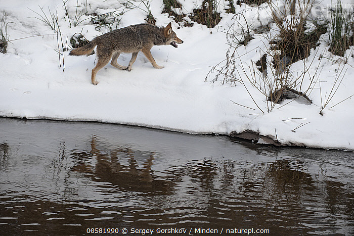 Wolf (Canis lupus) on riverbank, Tver, Russia  ,  Adult, Animal in Habitat, Canis lupus, Color Image, Day, Full Length, Horizontal, Nobody, One Animal, Outdoors, Photography, Reflection, River, Riverbank, Russia, Side View, Snow, Tver, Wildlife, Winter, Wolf,Wolf,Russia  ,  Sergey Gorshkov
