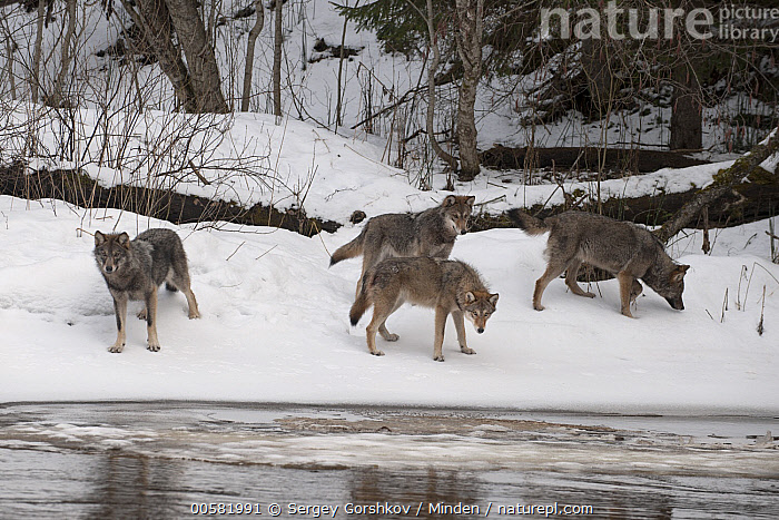 Wolf (Canis lupus) pack in snow along river, Tver, Russia  ,  Adult, Canis lupus, Color Image, Day, Four Animals, Full Length, Horizontal, Looking at Camera, Nobody, Outdoors, Pack, Photography, River, Russia, Side View, Snow, Tver, Wildlife, Winter, Wolf,Wolf,Russia  ,  Sergey Gorshkov