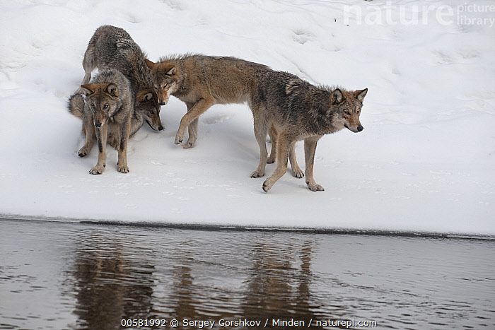 Wolf (Canis lupus) pack in snow along river, Tver, Russia  ,  Adult, Canis lupus, Color Image, Day, Front View, Full Length, Horizontal, Nobody, Nuzzling, Outdoors, Pack, Photography, River, Riverbank, Rubbing, Russia, Side View, Snow, Three Animals, Touching, Tver, Wildlife, Winter, Wolf,Wolf,Russia  ,  Sergey Gorshkov